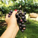 As Gurias  Uva e Vinho  IMG 3342 150x150 - O Samba na Cozinha